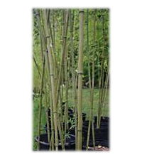Argo Bamboo in Containers